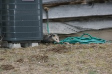Opposum hiding out